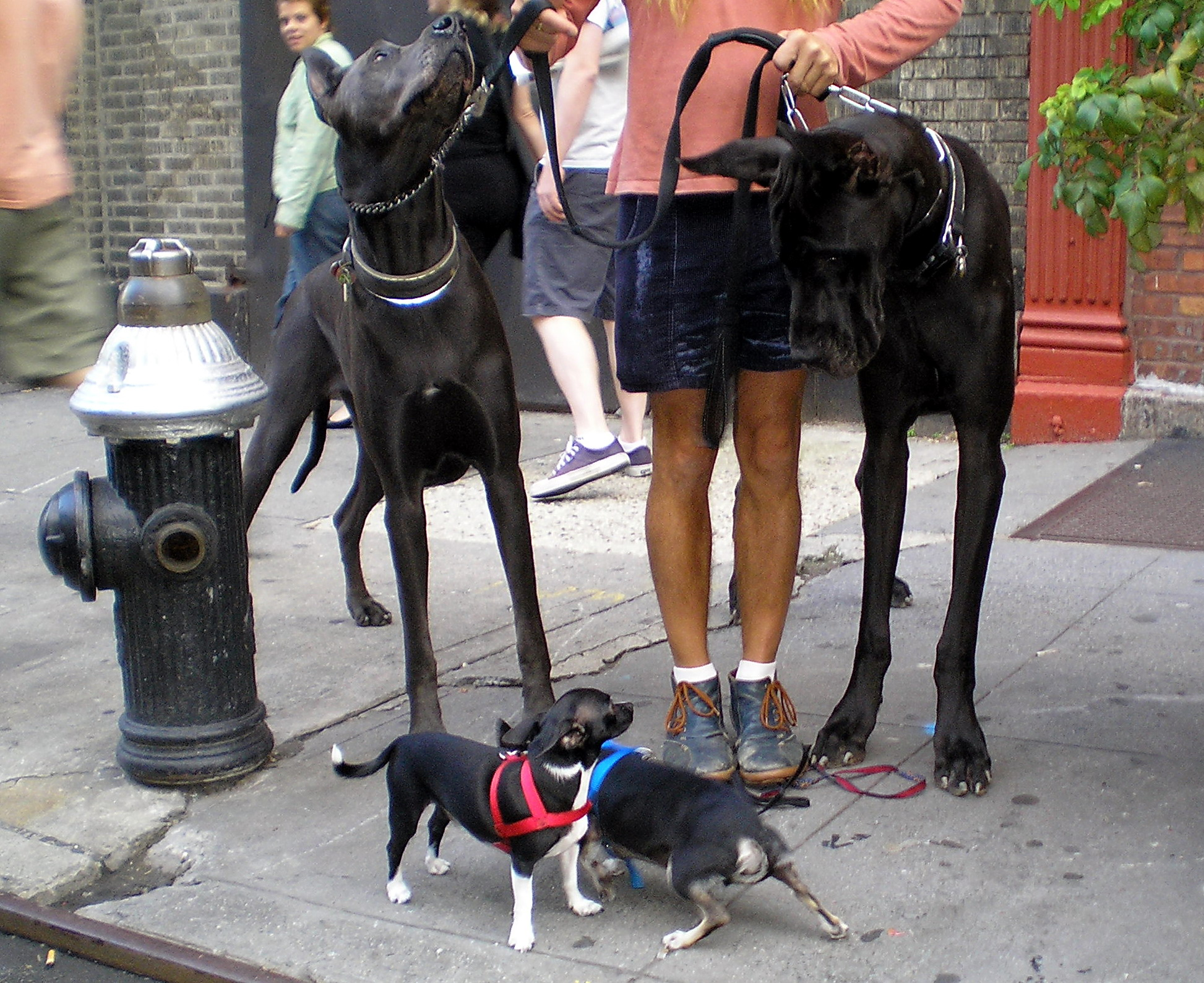 Two Great Danes and two Chihuahuas